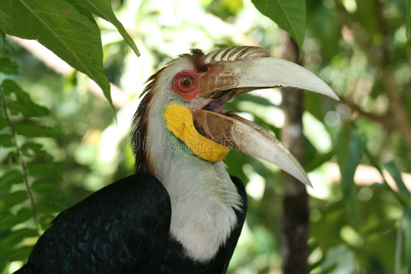 Wreathed Hornbill stock images