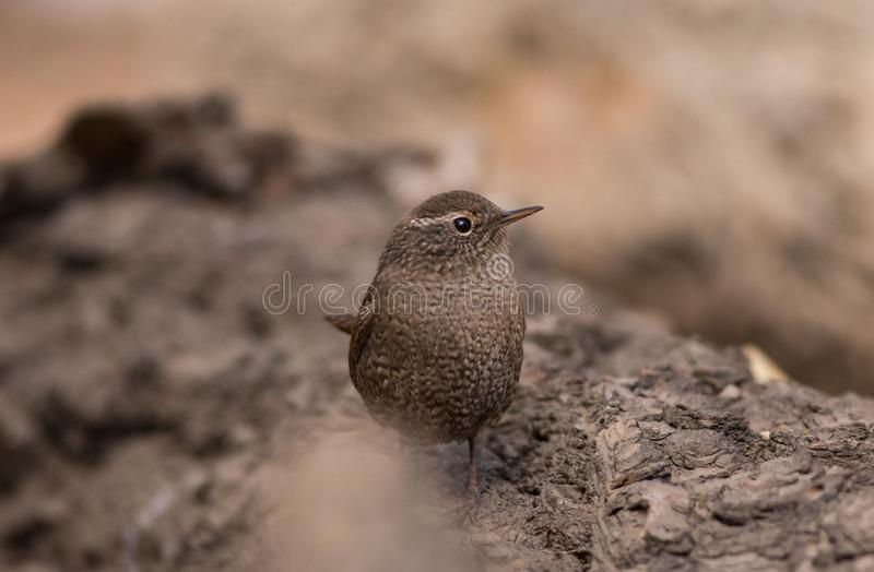 Wren bird Insectivorous bird wild bird migration ecological photography tail upturned body with white spots often d royalty free stock photo