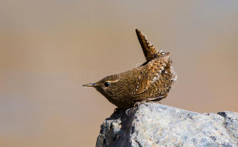 Wren birds beautiful insectivorous migration coffee color songbirds perch wild river feather eyes stock images