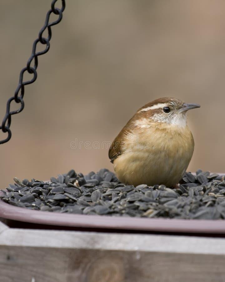 Wren che si siede sull'alimentatore dell'uccello fotografia stock