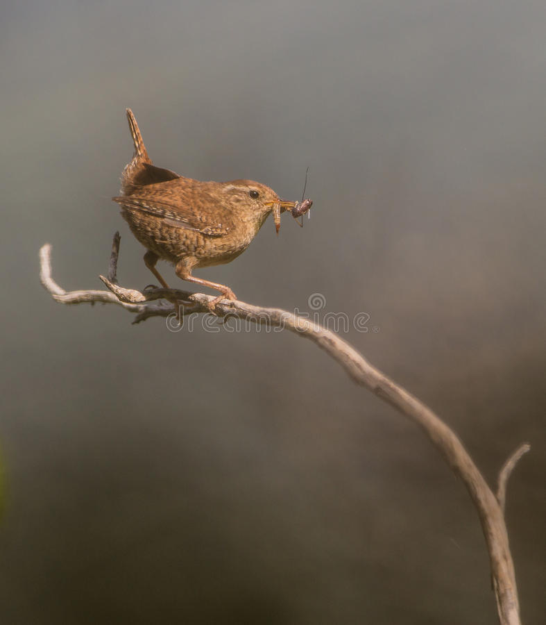 Wren with insects stock photos