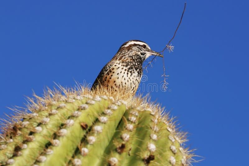 wren kaktus gałązka obraz royalty free