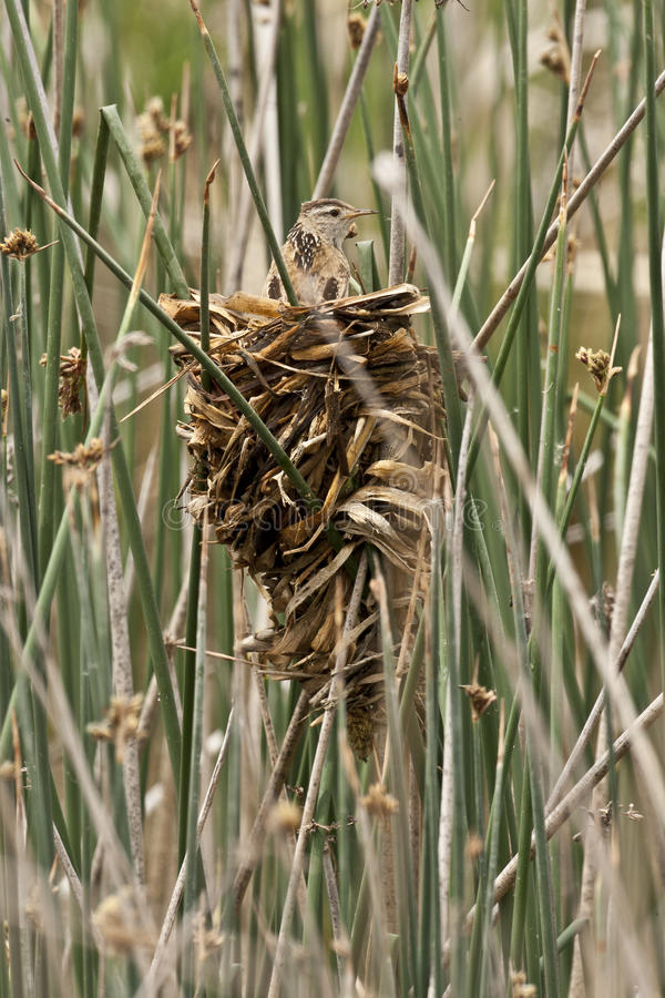 Wren Nest e scricciolo palustre fotografie stock