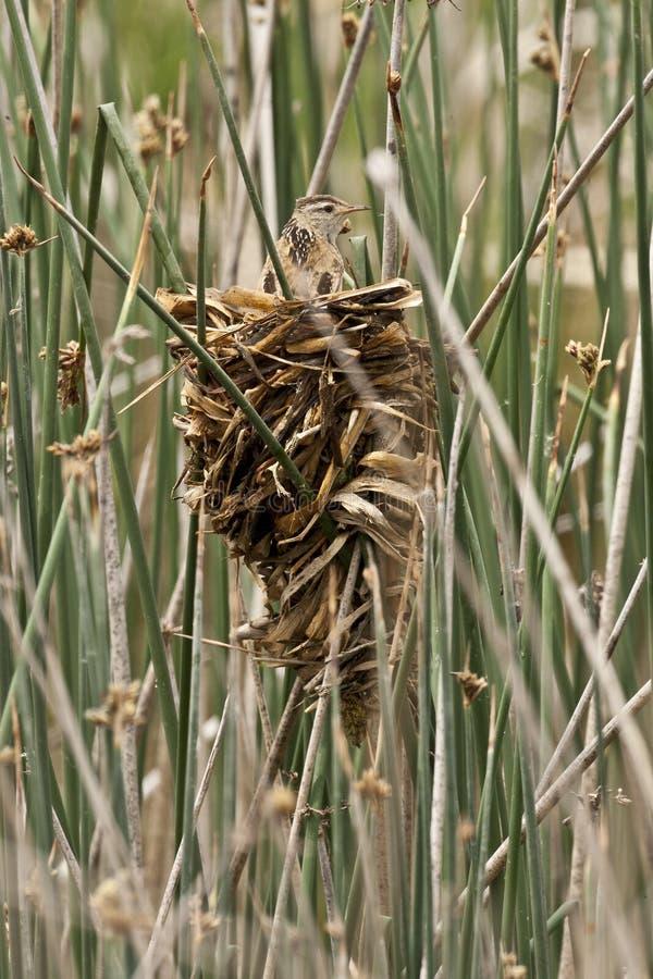 Wren Nest et roitelet de marais photos stock