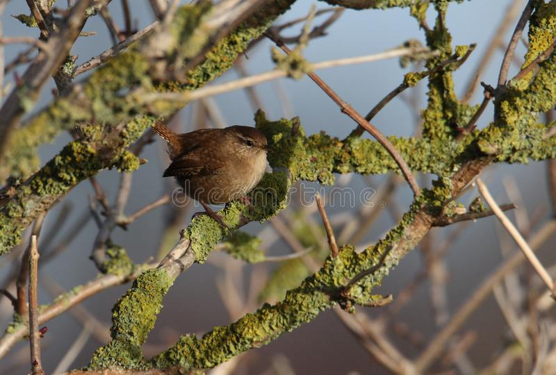 Wren In Tree royaltyfri foto