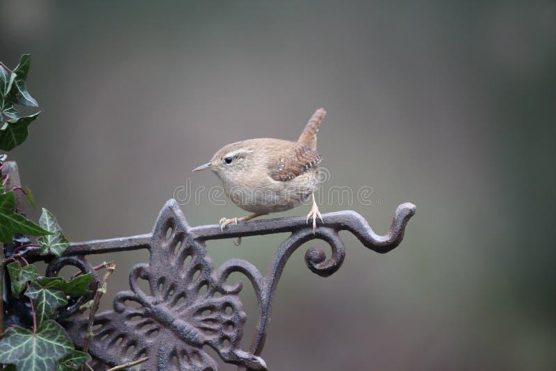 Wren, Troglodytes troglodytes. Single bird on fence, Warwickshire, January 2017 stock photos