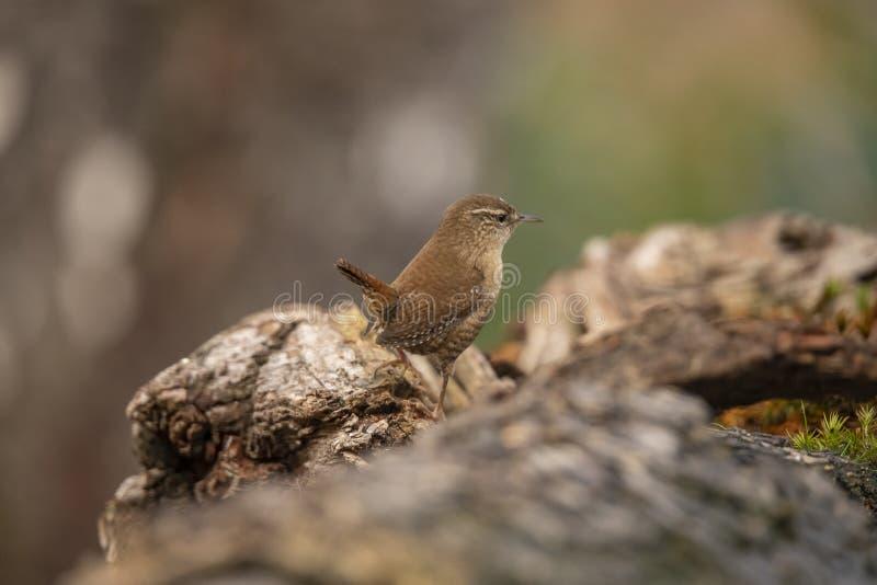 Wren, Troglodytes troglodytes, small songbird. Troglodytes troglodytes, the Wren is a very small brown songbird, seen in gardens and parks stock image