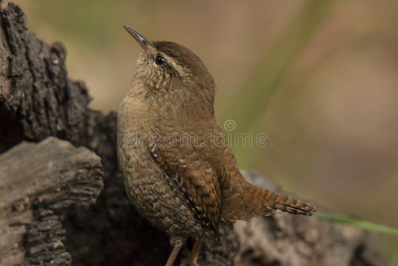 Wren, Troglodytes troglodytes, small songbird. Troglodytes troglodytes, the Wren is a very small brown songbird, seen in gardens and parks stock photo