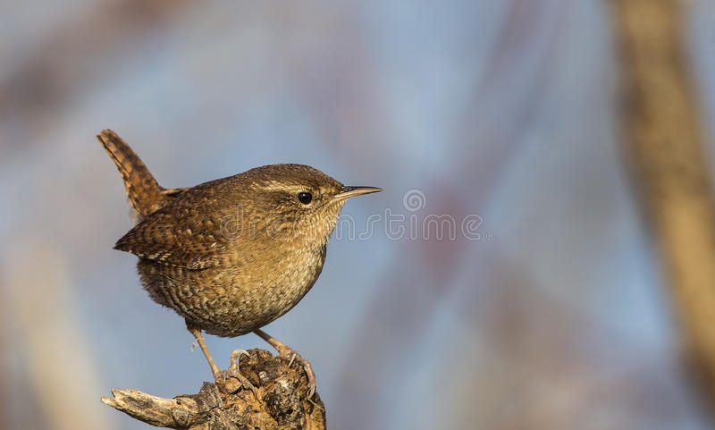 Wren on Wooden Log royalty free stock photography