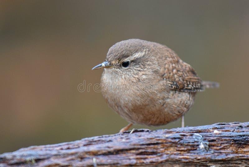 Wren. Troglodytes troglodytes is a small woodland bird royalty free stock images