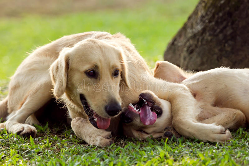Wrestling dogs. A pair of Golden Retriever puppies wrestling on the grass by a tree stock photo