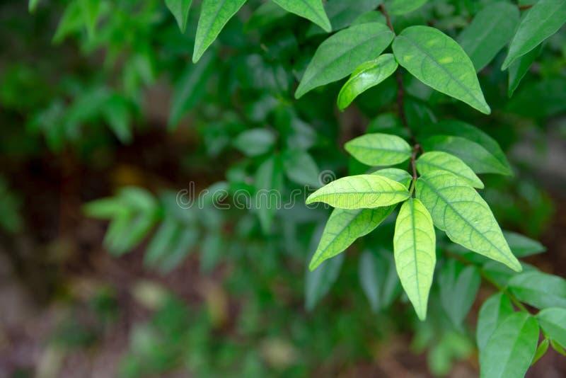 Wrightia arborea Scientific name : Wrightia arborea leaves stock image
