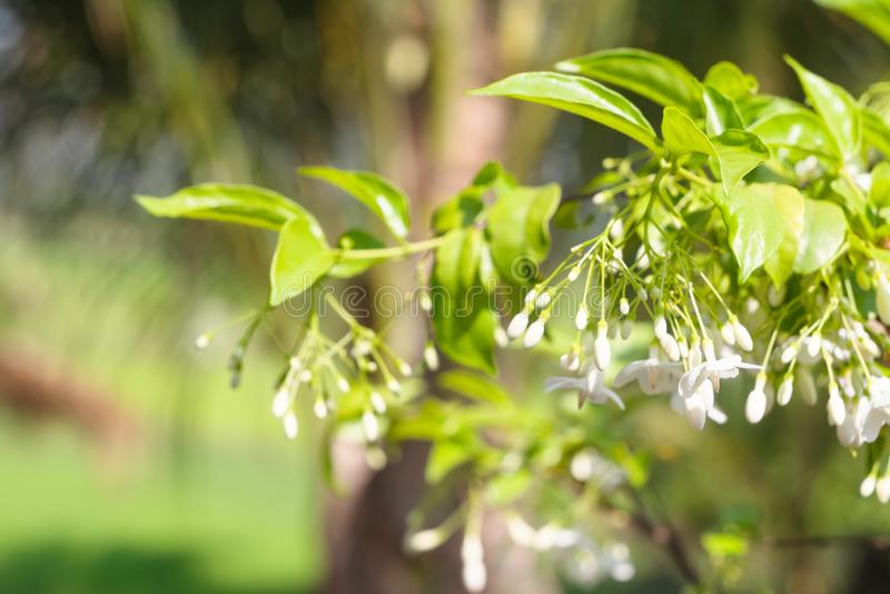 Wrightia religiosa Benth or Mok flowers background. With sunlight and blurred, environment, floral, fresh, branch, garden, nature, plant, beautiful, natural royalty free stock image