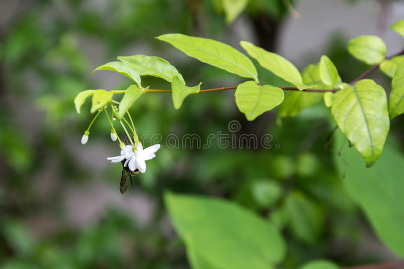 The Wrightia religiosa flower in thailand stock photo