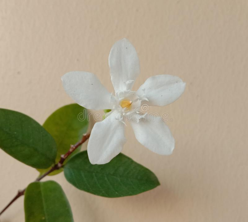 Wrightia religiosa with leaves on wall background is a flower with a bouquet of flowers. Wrightia religiosa with leaves on wall background is a flower with a royalty free stock photography