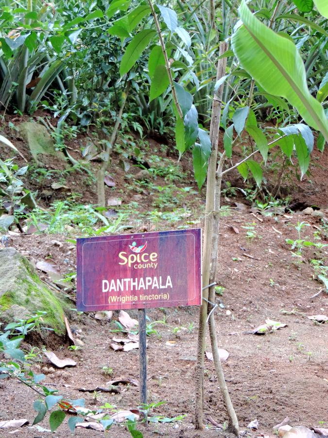 Wrightia tinctoria plantation in Spice Garden in Munnar, Kerala, India. Kerala is an important spice market of India. Apart from being a commodity, the spice stock photo