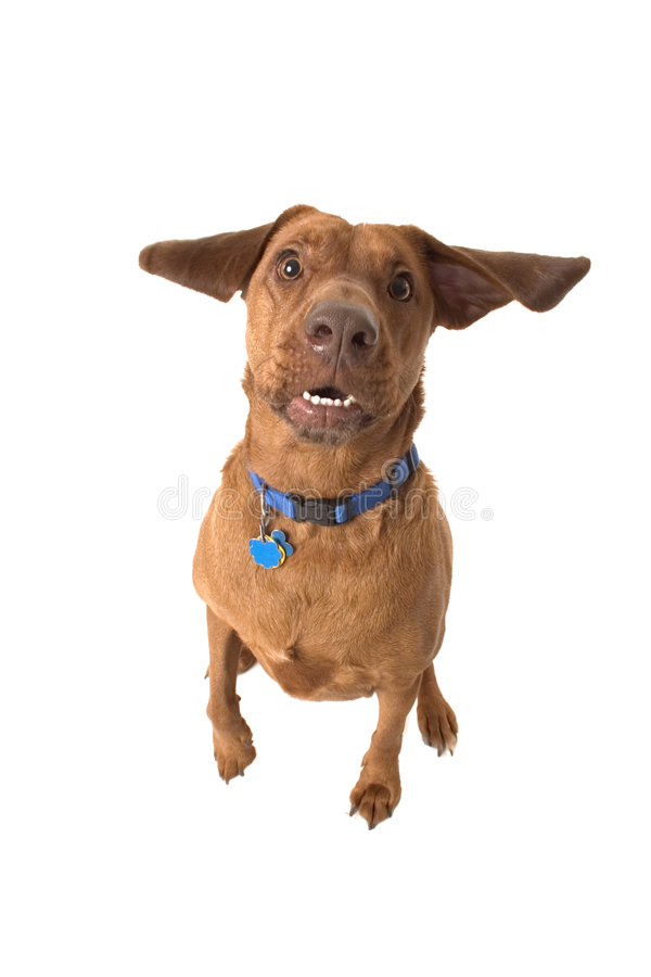 Wrigley, the dog, ear flapping, mouth open. stock images