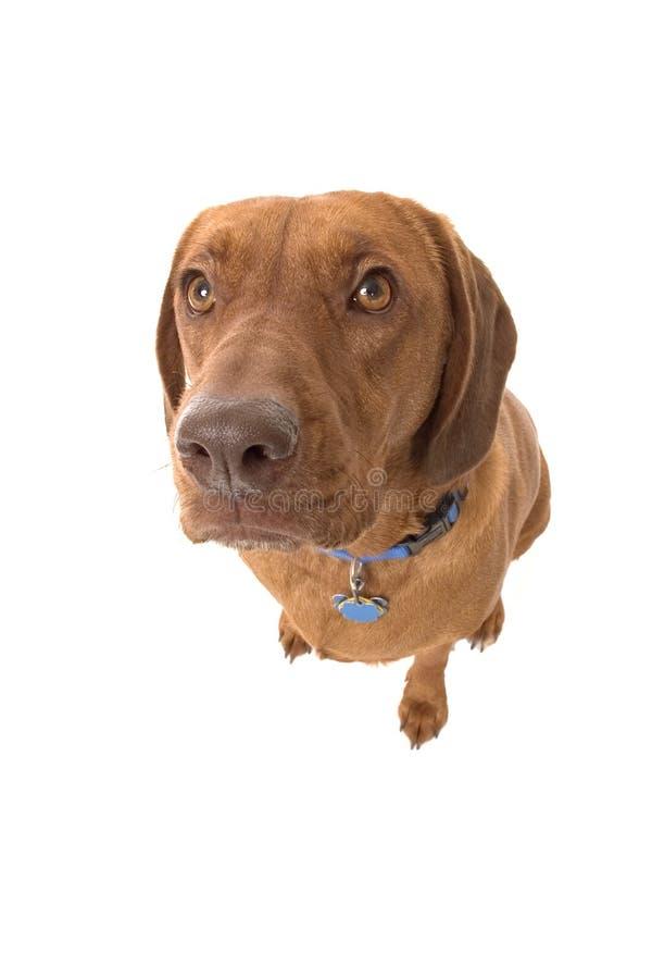 Wrigley, the dog, looking up. stock photos