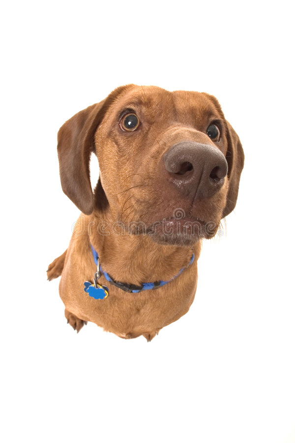 Wrigley, the dog, looking up. royalty free stock photos