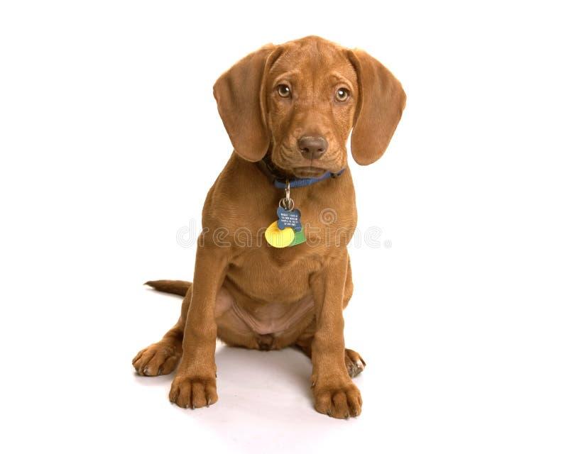 Wrigley il cane fotografia stock libera da diritti