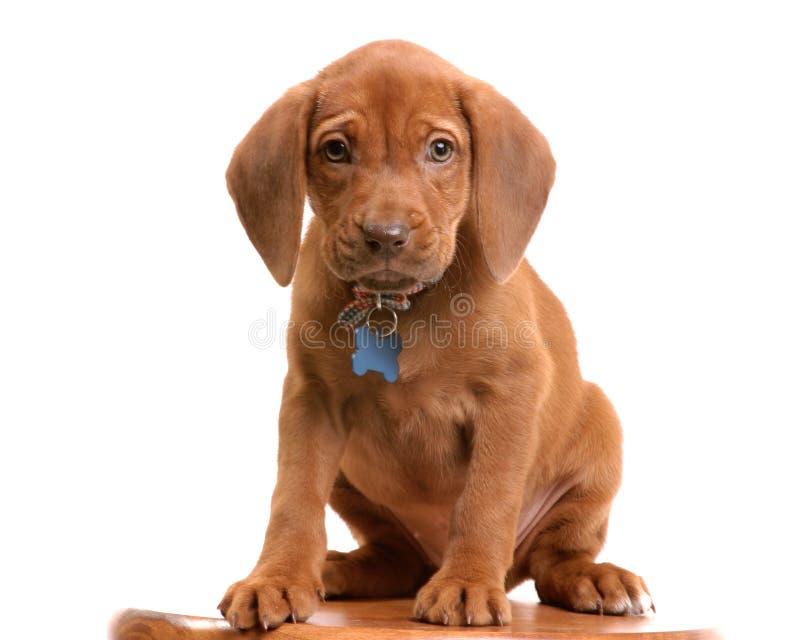 Wrigley o filhote de cachorro