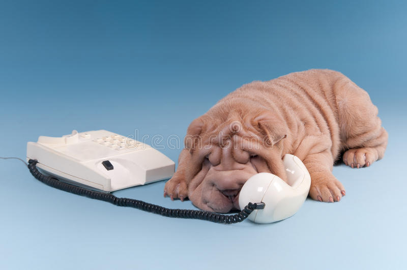 Wrinckled sharpei puppy arguing over phone royalty free stock images