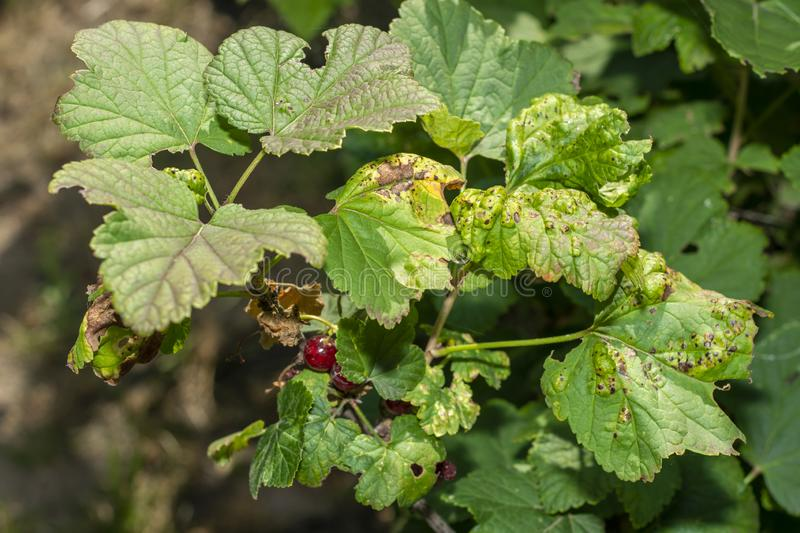 Wrinkled leaves and branches of currant close-up macro. Disease and Pests royalty free stock photo
