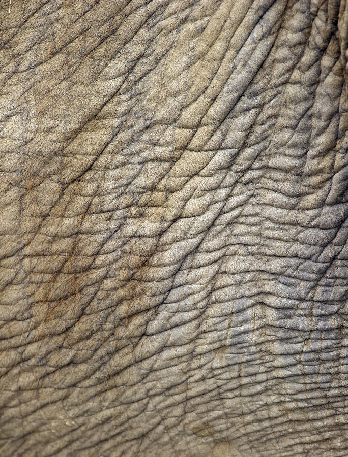 Wrinkly Haut des asiatischen Elefanten, Thailand, Asien lizenzfreie stockfotografie