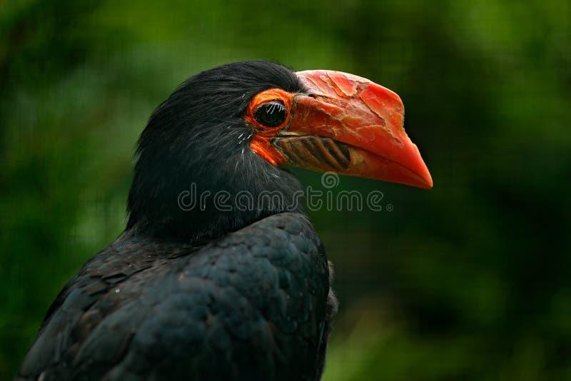 writhed-hornbill-aceros-leucocephalus-de