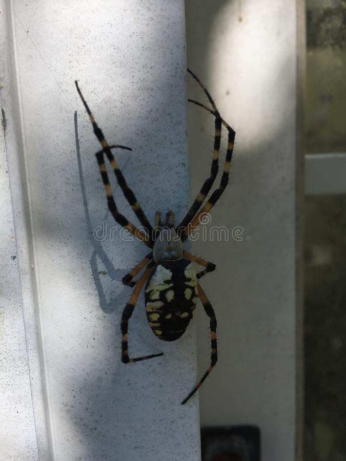 Argiope Aurantia Spider. The Writing Spider. The Writing Spider Argiope aurantia Known also as the Yellow and Black Garden Spider, Golden Orb Weaver, Yellow royalty free stock image