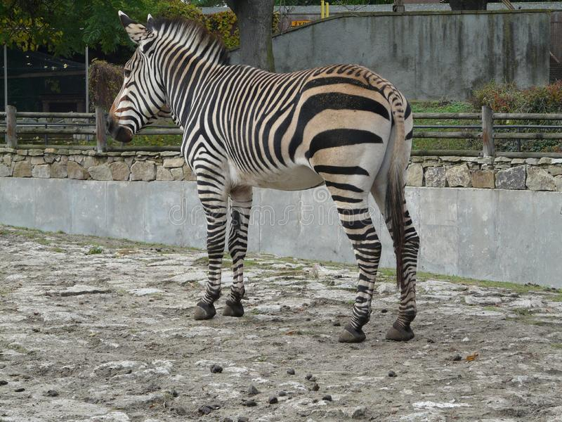 WROCLAW, SILESIA, POLONIA - cebra [Equus] en el PARQUE ZOOL?GICO de Wroclaw imagen de archivo