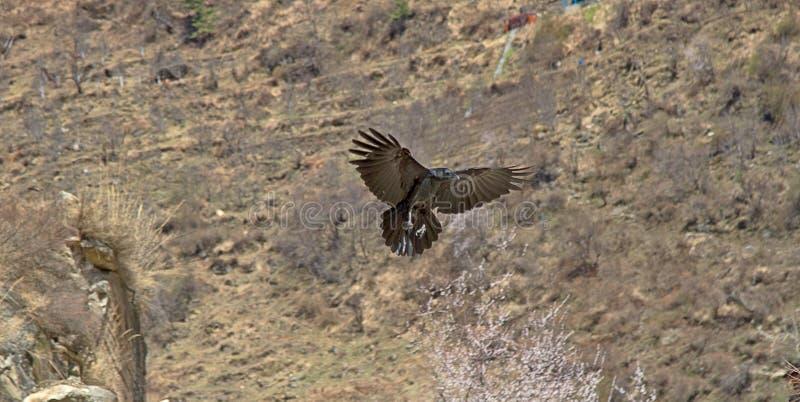 wrona łąkowa (Corvus macrorhynchos) fotografia royalty free