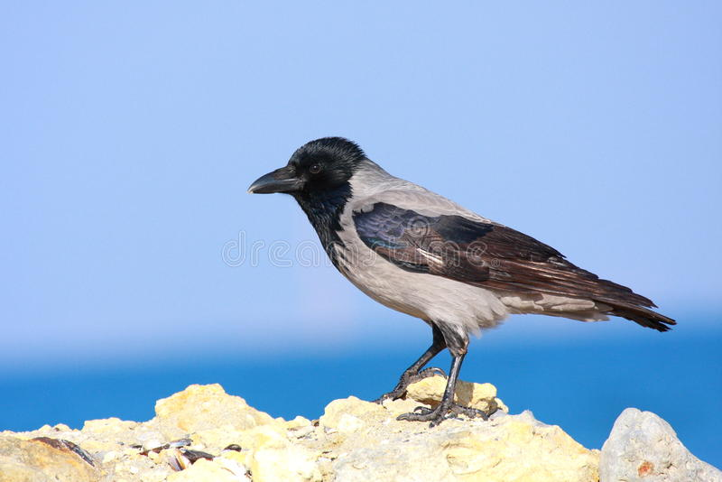 wrona okapturzająca skała zdjęcie stock