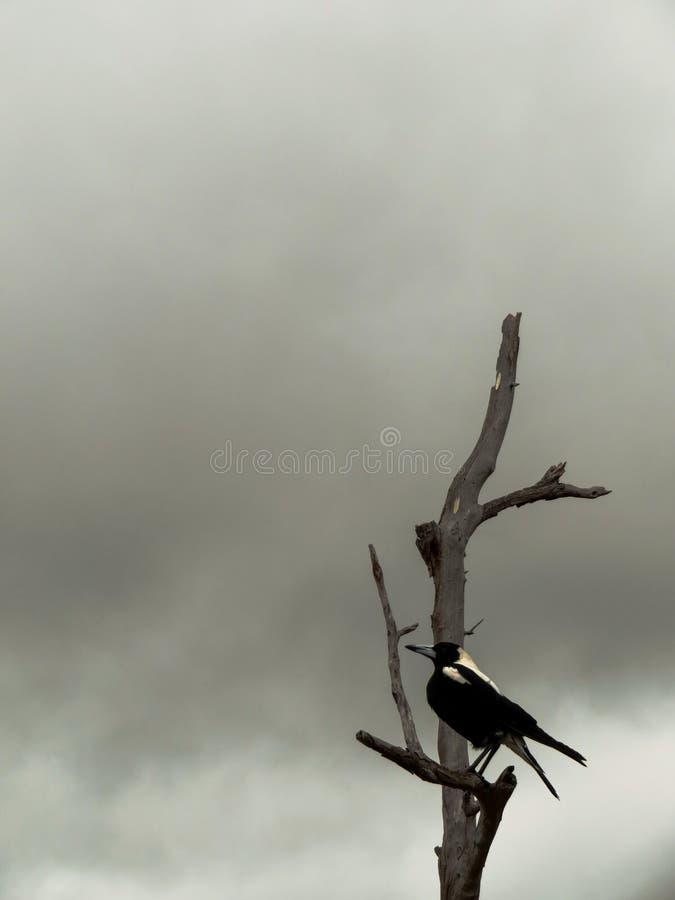 Wrona w mgle zdjęcie stock
