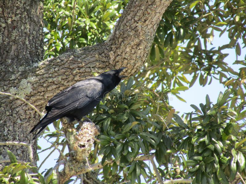 Wroni dzwonić w drzewie na ciepłym wietrznym słonecznym dniu obraz royalty free