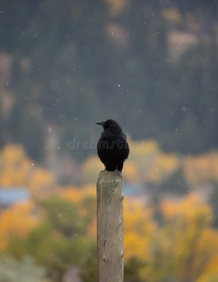 Wroni obsiadanie na Drewnianej Płotowej poczcie fotografia royalty free