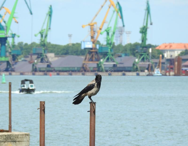 Wroni ptak na kruszcowym słupie w Klaipeda porcie, Lithuania fotografia stock