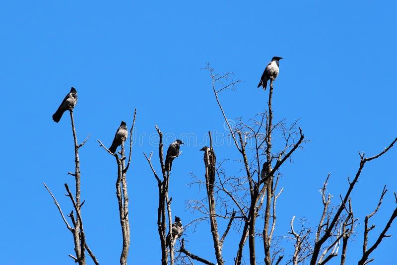 Wrony siedzą na drzewie i opowiadają obrazy stock