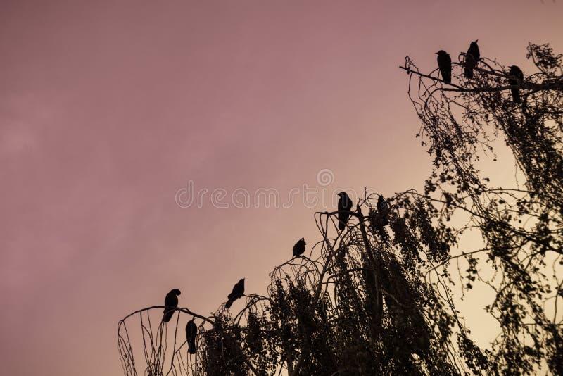 Wrony siedzi w drzewie obrazy royalty free