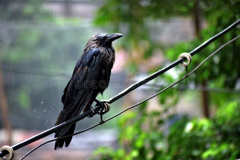 Wrony stoi w deszczu na gałąź fotografia stock