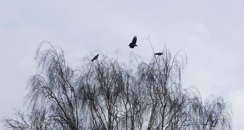 Wrony w ranku fotografia royalty free