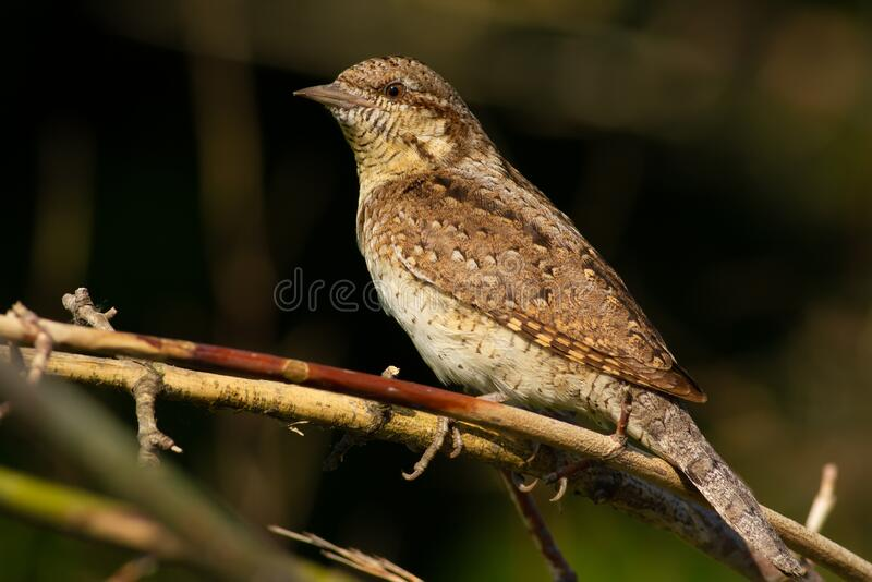 Wryneck, jynx. The bird hid in the bushes.  royalty free stock photos