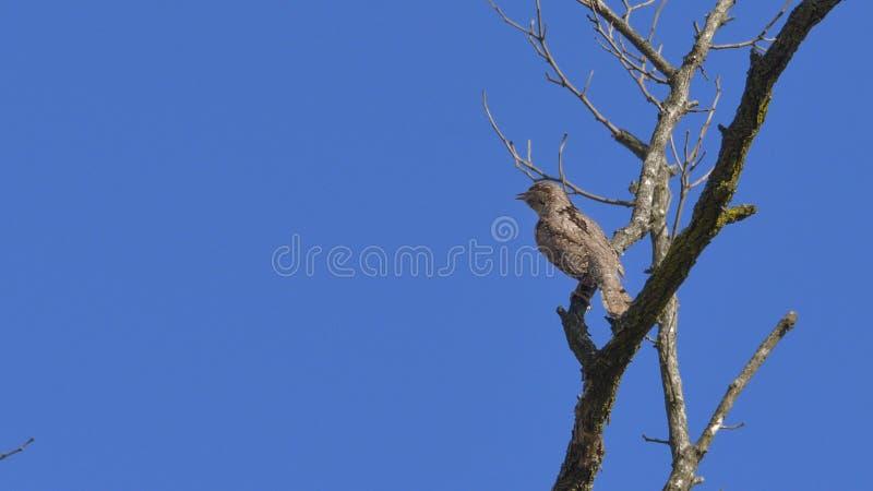 Wryneck, Specht, aufgeworfen auf der Niederlassung eines Baums stockbilder