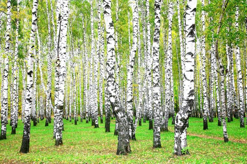 Wrzesień jesień brzozy gaj obraz stock