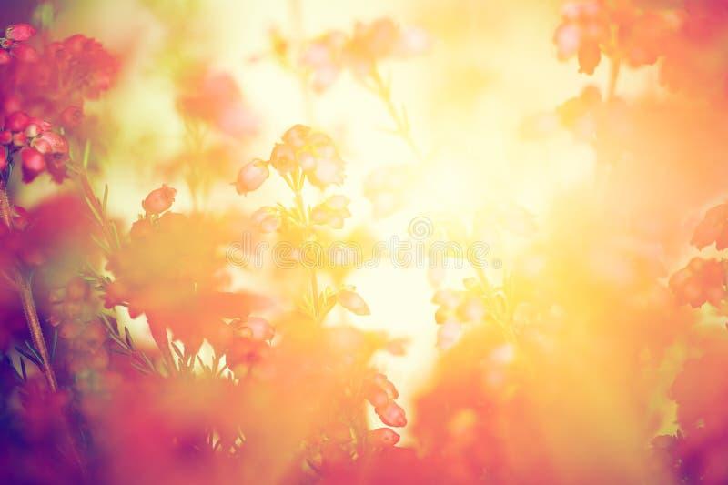Wrzos kwitnie na spadku, jesieni łąka w olśniewającym słońcu zdjęcia royalty free