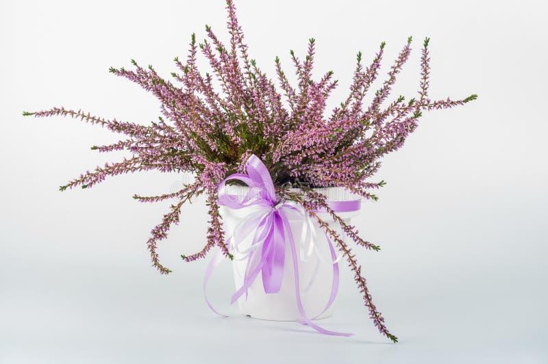 Wrzos w białej wazie z purpurowym faborkiem obraz stock