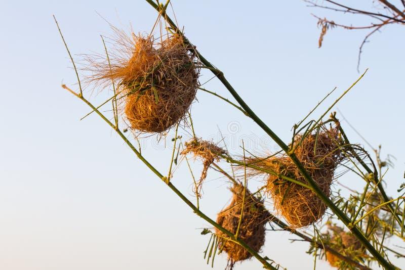 Wrzosa gniazdowy weaverbird obrazy stock