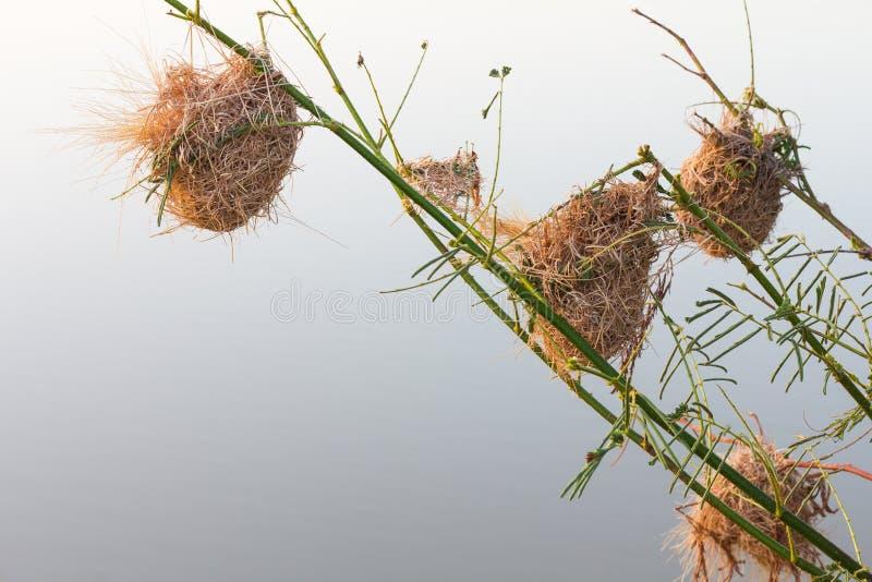 Wrzosa gniazdowy weaverbird fotografia royalty free