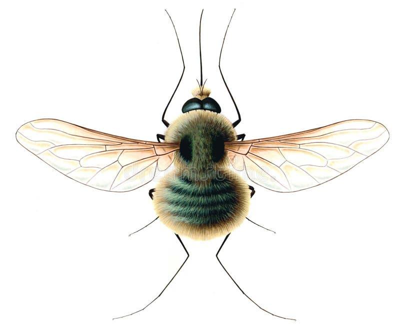 Wrzosowiskowa komarnica odizolowywająca na białym tle (Bombylius nieletni) zdjęcie royalty free
