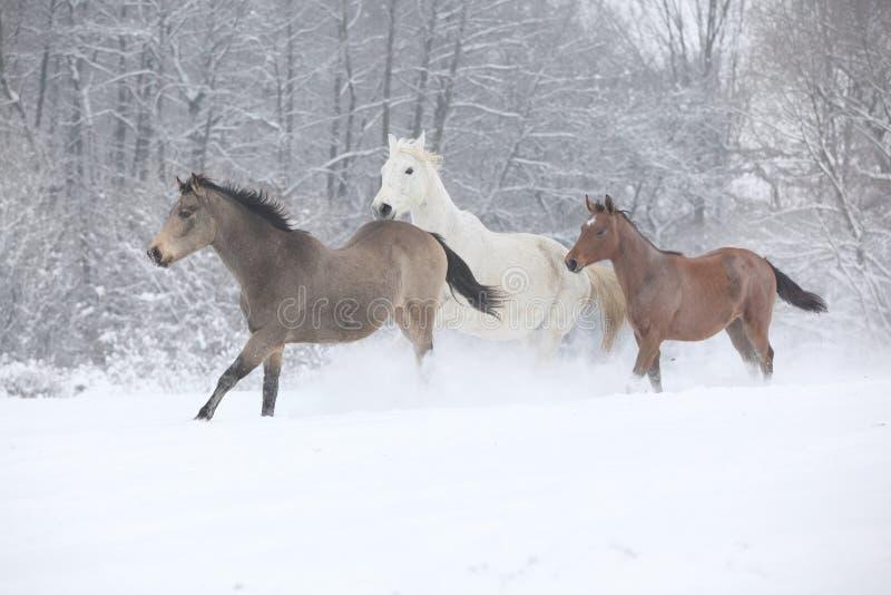 Wsad konie biega w zimie obraz stock